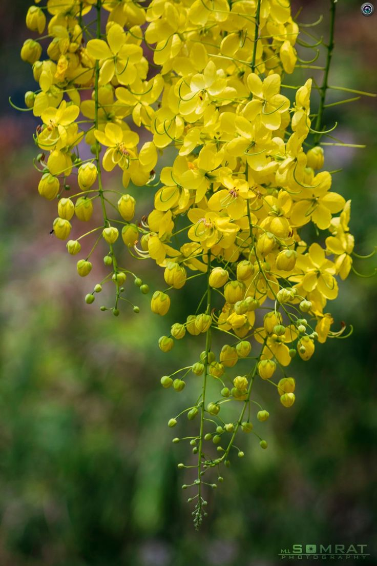 Golden Shower [Cassia fistula] [সোনালূু]  Cassia fistula, known as the golden shower tree and by other names, is a flowering plant in the family Fabaceae. The species is native to the Indian subcontinent and adjacent regions of Southeast Asia.