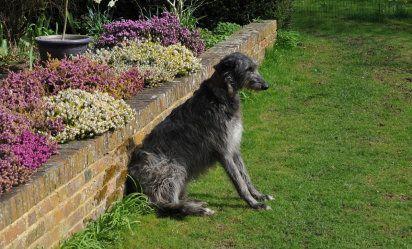 Lebrel escocés | Cuidar de tu perro es facilisimo.com