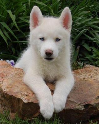 white siberian huskies puppy