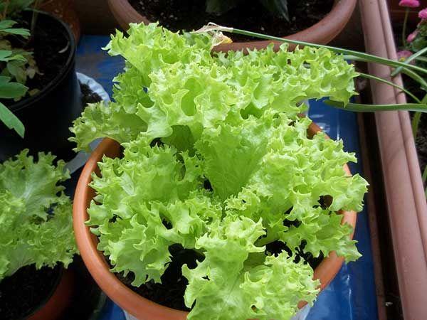 Alface cultivada em um vaso. Como plantar?