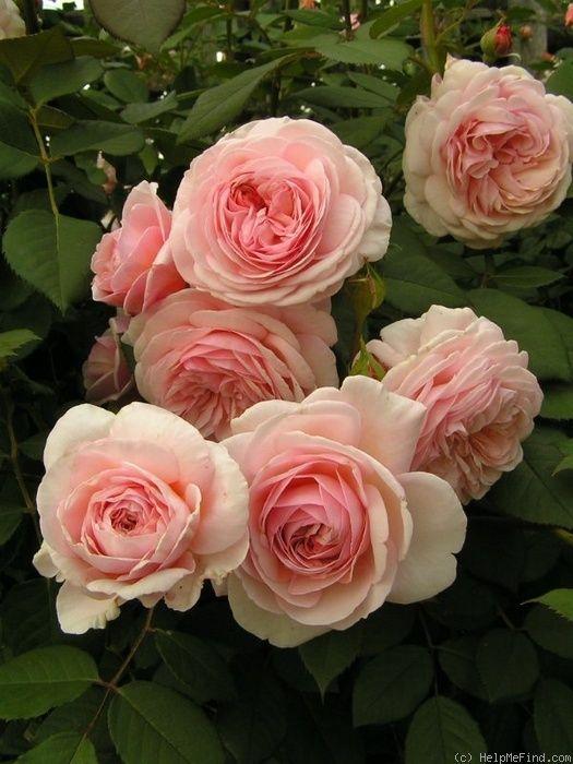 "Rose "" A Shropshire Lad "" , (AUSled) , bred by David C. H. Austin (United Kingdom, 1997)"