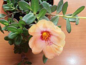 LA VENTANA DE JAVIRULI: PLANTAS CRASAS ( 7 ) : VERDOLAGA (Portulaca oleracea). Cuidados y cómo reproducir