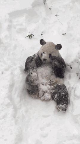micdotcom-tian-tian-a-giant-panda-who-lives-in Part 4