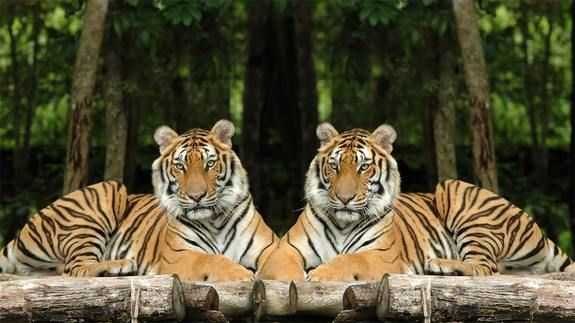 """The Indochinese tiger (Panthera tigris corbetti - also known as the Corbett""""s tiger) is found in areas of Cambodia, Laos, Burma and Thailand. Their hides are a darker shade of orange than other subspecies of tigers, and their stripes act as camouflage to help the tigers hide from their prey. (Anankkml - Dreamstime)"""