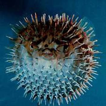 12 best ideas about puffer fish on pinterest feelings for Puffer fish adaptations