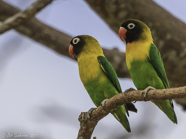Yellow-collared Lovebirds by sfgundertaker, via Flickr