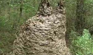 «Este gigantesco nido de avispas hará que no quieras volver a salir». Un veterano entomólogo descubre y destruye en Florida una colmena de unos dos metros de alto y dos y medio de ancho.