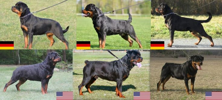 The Rottweiler: A Patient Family Dog and Gentle Giant. Just Don't Try Anything Funny!
