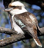 Laughing Kookaburra - Photographers: K Vang and W Dabrowka © Bird Explorers