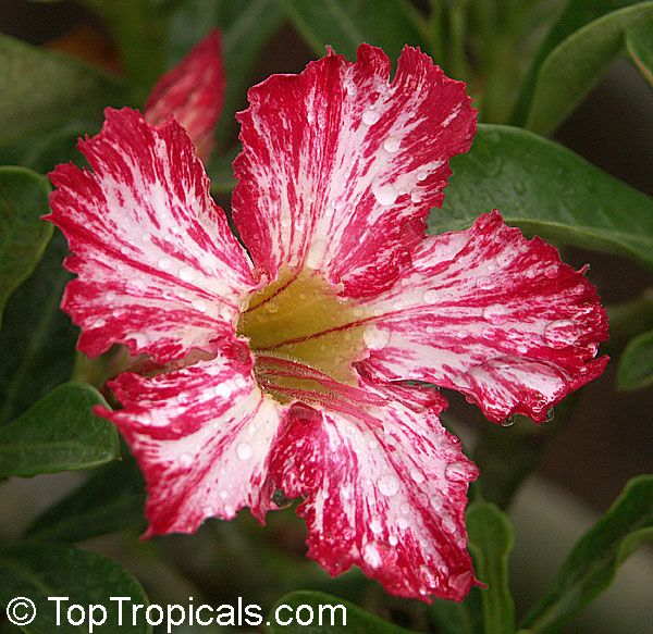 how to grow impala lily from seeds
