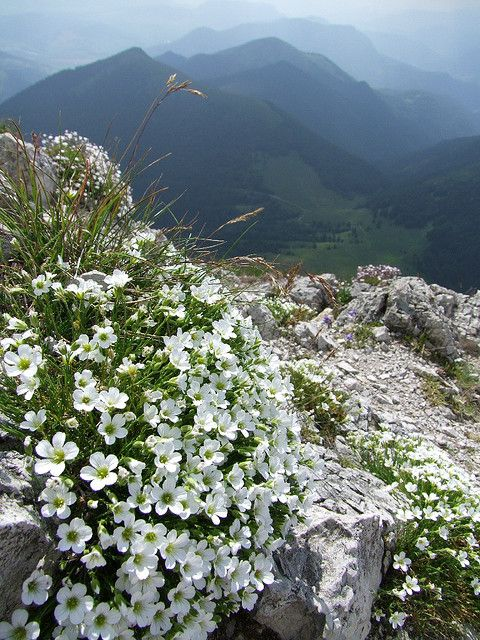 Mountain flowers in Malá Fatra National Park, Slovakia.