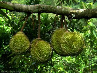 Picture of a Durian tree in the Philippines