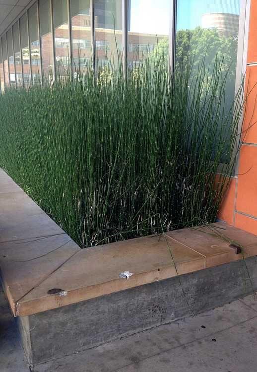17 meilleures id es propos de equisetum sur pinterest - Faire pousser du bambou ...