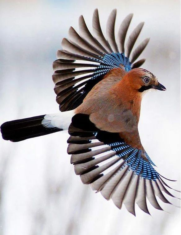Eurasian Jay in flight