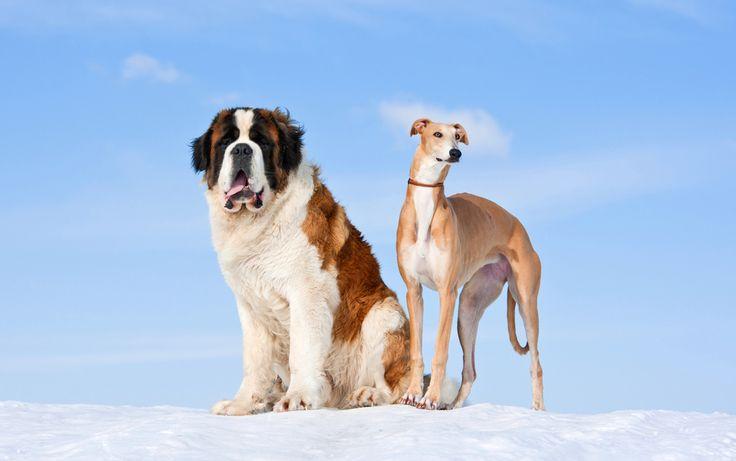 Duże rasy psów Bernardyn i Greyhound