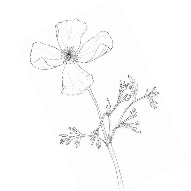 365 days - 365 flowers / Kalifornischer Mohn (Eschscholzia California) // Ruinenberg Potsdam #mohnblume #mohn #poppy #flower #blume #drawing #zeichnung #scetch #skizze #wildblume #potsdam