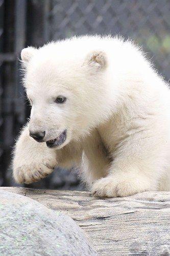 A bundle of fluff a.k.a. a polar bear cub.