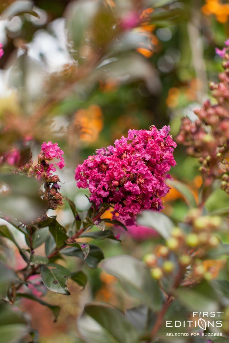 Purple leaf shrub with pink flowers - A Shrub Form Of Crapemyrtle Blooms In Early Summer With A Profusion Of Fuchsia Pink Flowers Foliage Emerges Plum Purple And Matures To A Rich Green Color