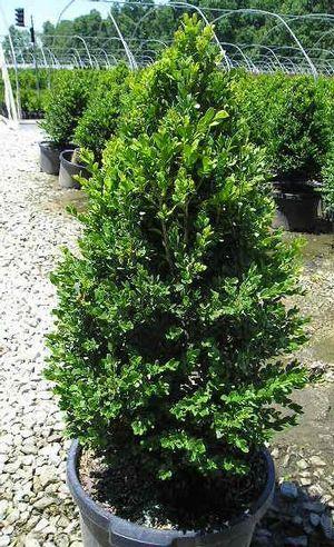 Buxus x 'Green Mountain' - Green Mountain Boxwood.  3-5' Ht. 2-3' Spread.  Dark green foliage and upright pyramid shape.