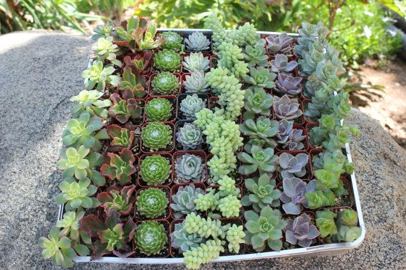 """Wedding Favor Succulents 150 Gorgeous  Perfect for any event each succulent is in a 2"""" plastic container"""