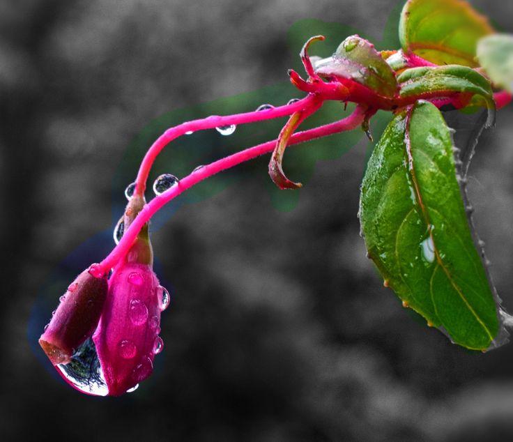 Macro Raindrop on Fuchsia Bud by Wendy Allen on 500px