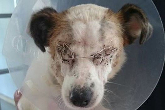 Heartless thugs throw chemicals in face of dog before dumping her on busy road Lindsay needed to have her eyes removed.