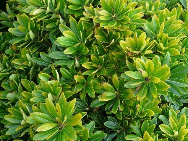 16dff3f219890 Clasificación de los arbustos de hoja por colores  Verde