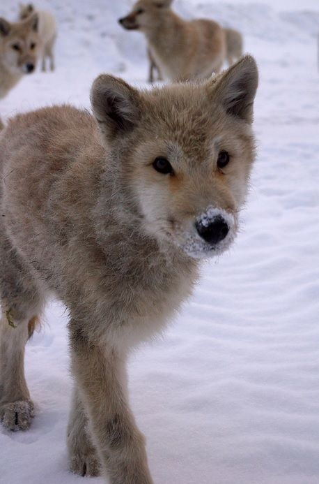 Young Arctic Wolf