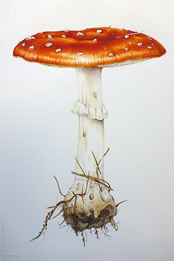 Lizzie Harper botanical illustration fly agaric