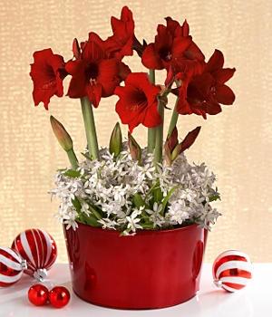 73 best images about amaryllis 2016 on pinterest for Amaryllis christmas decoration