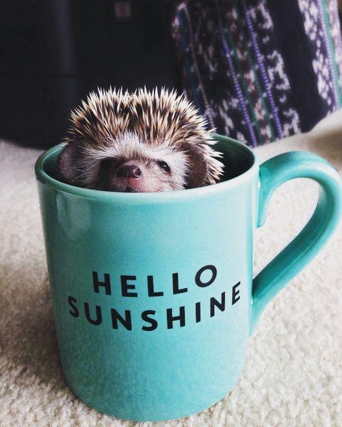 Hedgehog?