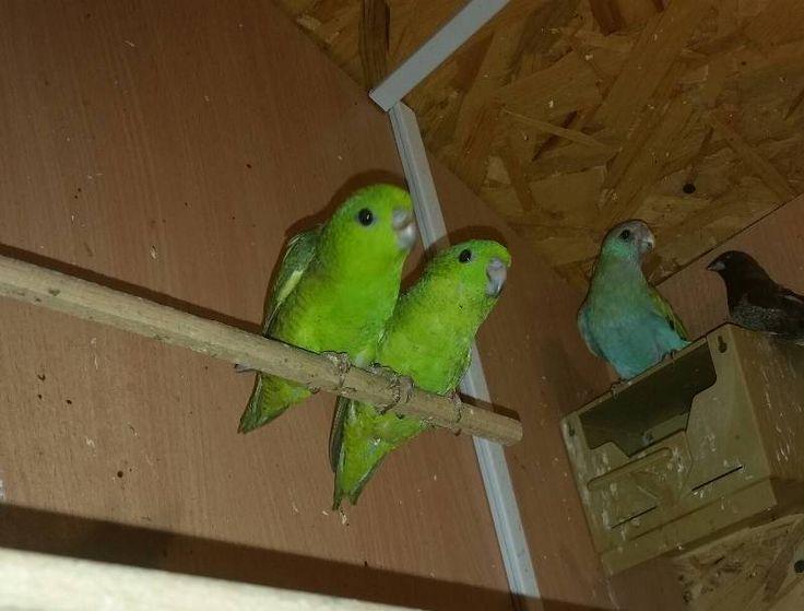 Две центральные хвостовые перьины у самцов имеют черное (темное) окаймление! У самок - светлое! Но это на 90%! И только на чистые цвета - зеленые, синие, серые... На эджеты, осветленные и ино - не действует!.. :ni_zia: На фото самка златокрылого певчего!.. Очень редкий вид, гнездующийся в термитниках...