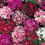 Cravina -  Dianthus barbatus - Flor Anual - Normalmente vendida como flor de corte