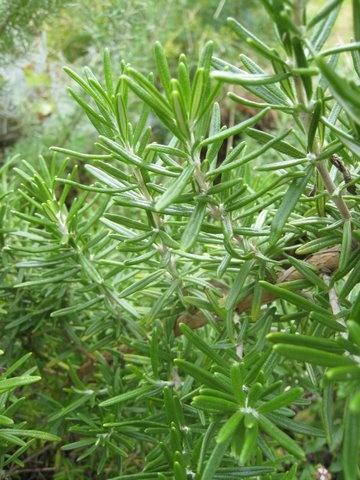 rosmarinus officinalis  Rozemarijn