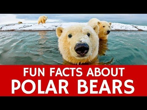 Interesting Facts about Polar Bears – Educational Video for Kids and School Learning - YouTube