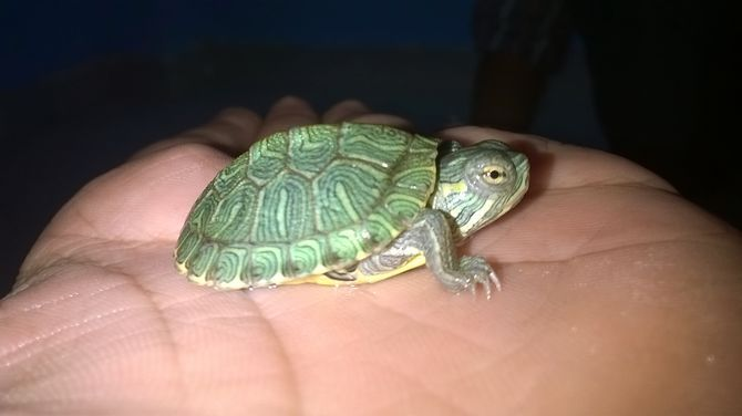 How to Care for a Red Eared Slider Turtle: 15 Steps