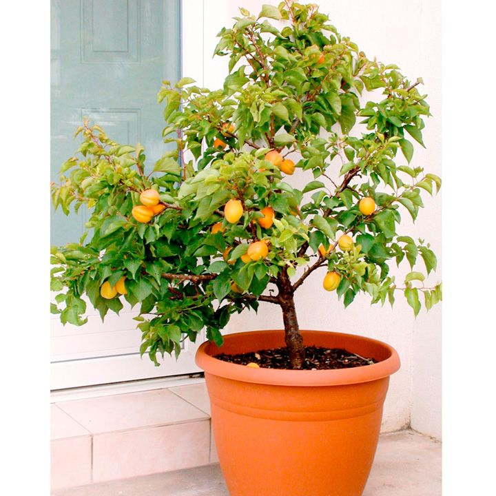 Patio Fruit Tree Sibleys Apricot 1 at Suttons Seeds