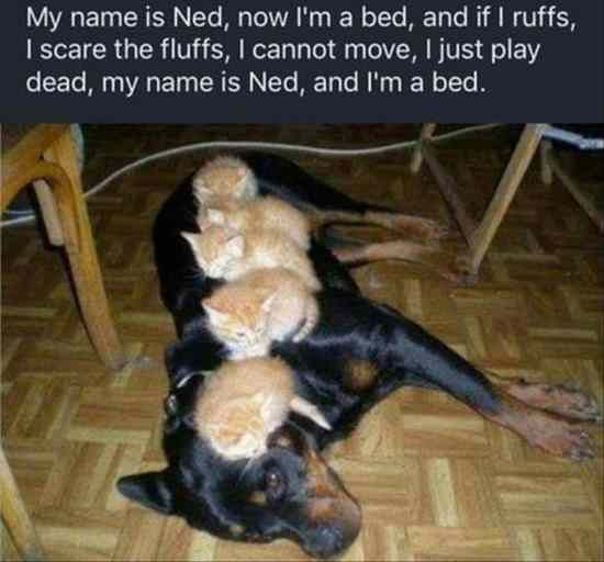 Rottweiler, Kitten, Cat, Puppy Meme: My name is Ned, now I'm a bed, and if I ruffs I scare the fluffs, I cannot move, I just play dead, my name is Ned, and I'm a bed