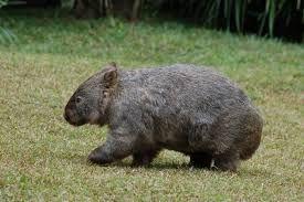"""wombat side""的图片搜索结果"