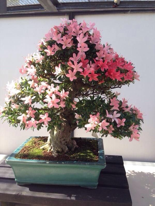 261 best images about satsuki on pinterest bonsai trees for Bonsai italia