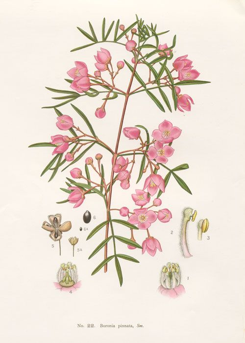 Boronia pinnata by Edward Minchen from: 'The Flowering Plants and Ferns of New South Wales - Part 6' (1897)