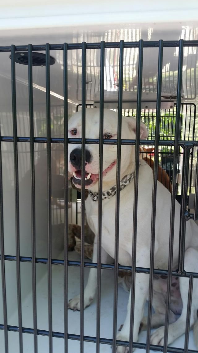 04/17/17-~~SEE VIDEO!!~~ HOUSTON- EXTREMELY URGENT - This DOG - ID#A480451 I am a male, white Pit Bull Terrier. The shelter staff think I am about 3 years old. Harris County Public Health and Environmental Services. https://www.facebook.com/harriscountyanimalsheltervolunteers/videos/491448580979387/