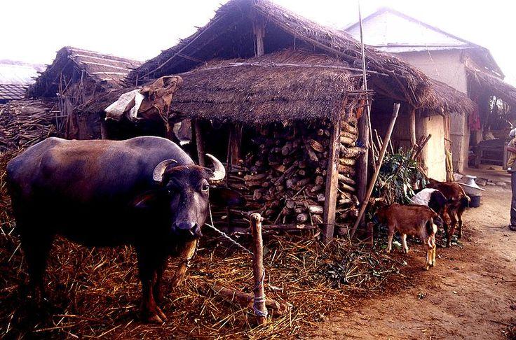 ロイヤル・チトワン国立公園近くのタルー族の村 ◆ネパール - Wikipedia http://ja.wikipedia.org/wiki/%E3%83%8D%E3%83%91%E3%83%BC%E3%83%AB #Nepal