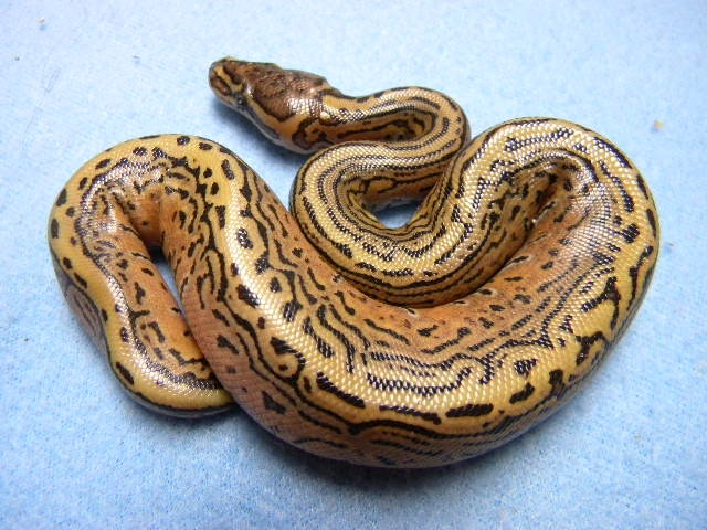 Trick Pinstripe Ball Python Snake. Drooling! black and orange pattern, high end morph, Python Regius, exotic animal