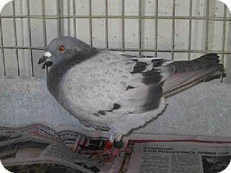 Bonita, CA - Pigeon. Meet A1555582 a Pet for Adoption via @Adopt-a-Pet.com