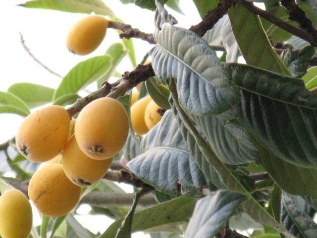 1月14日の誕生日の木は「ビワ(枇杷)」です。 バラ科ナシ亜科ビワ属の常緑高木です。原産地は中国。日本にも野生種があったとする説はありますが、現在栽培されている品種のもとは、江戸時代に中国から渡来したものです。 元々は楽器の琵琶が「枇杷」と呼ばれ、植物のビワの名前の由来は、ビワが楽器の琵琶に似ていたから。似ている部位は葉とする説と果実とする説があります。 ちなみ楽器の「琵琶」の名前の由来は、奏でるときの二つの演奏方法から。撥(ばち)あるいは指で右手前へと引き出すのが「琵」、撥あるいは指で反対方向に引き入れるのが「琶」。「琵」と「琶」を繰り返すとpipa pipaと聞こえるのでこの名前が付いたのだそうです。