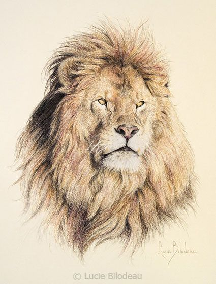 """""""Mufasa"""", color pencil on paper, 14"""" x 11"""", by Lucie Bilodeau."""