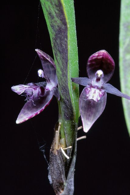 Pleurothallis talpinaria | Flickr - Photo Sharing!