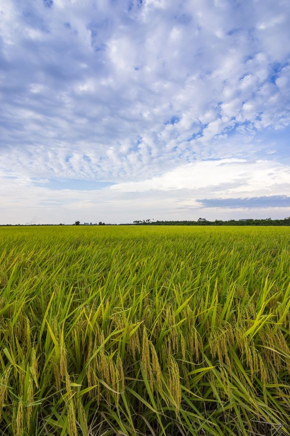 Breeze #landscape #sekinchan #malaysia #paddy #field #rice #crop #asdgraphy