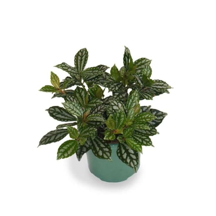 Find 130mm Easy Care Pilea cadierei Aluminium Plant at Bunnings Warehouse. Visit your local store for the widest range of garden products.